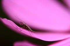 Mosquito de la flor Imagen de archivo libre de regalías