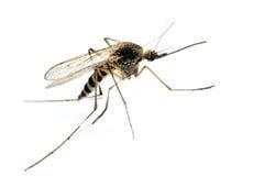 Mosquito de los anófeles Fotos de archivo libres de regalías