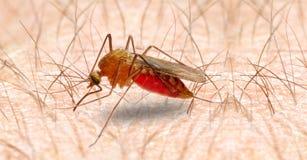 Mosquito de los anófeles. Imagen de archivo libre de regalías