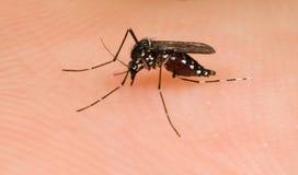 Mosquito de tigre asiático Fotos de archivo