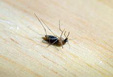 Mosquito dead on the wooden table stock photo