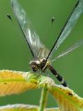 Mosquito del ángulo de la mariposa Foto de archivo libre de regalías