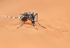 Mosquito del aedes Fotos de archivo