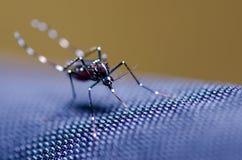 Mosquito del aedes Imagen de archivo libre de regalías