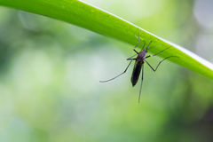 Mosquito del aegypti del aedes Ciérrese encima de un mosquito del mosquito en la hoja, MOS Foto de archivo libre de regalías