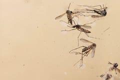 Mosquito del aegypti del aedes Ciérrese encima de un mosquito recién nacido, Foto de archivo libre de regalías