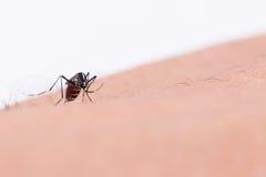 Mosquito del aegypti del aedes Ciérrese encima de una sangre humana que chupa del mosquito, Fotos de archivo libres de regalías