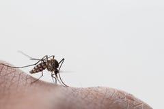 Mosquito del aegypti del aedes Ciérrese encima de una sangre humana que chupa del mosquito Imagenes de archivo
