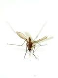 Mosquito del primer aislado en el fondo blanco imagenes de archivo