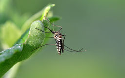 Mosquito del tigre Fotos de archivo libres de regalías