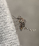 Mosquito del tigre imagen de archivo