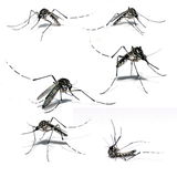 Mosquito of Dengue stock photography