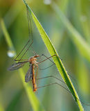 Mosquito and dewdrops Royalty Free Stock Images