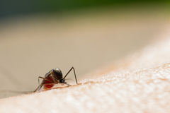 Mosquito do aegypti do Aedes Imagem de Stock Royalty Free