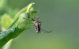 Mosquito do tigre fotos de stock royalty free
