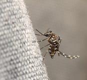 Mosquito do tigre foto de stock