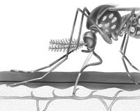 Mosquito - Drawing Blood From Skin. A mosquito drawing blood from skin through its proboscis. Shown are the proboscis, antennae, maxillary, labium, fascicle Stock Photo