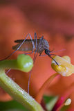 Mosquito drinking nectar. Close up of a male mosquito having a drink of nectar from a flower Stock Photography