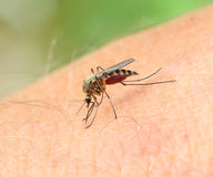 Mosquito drinks blood - macro shot Royalty Free Stock Photo
