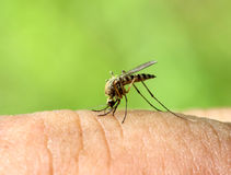 Mosquito drinks blood - macro shot Royalty Free Stock Images