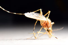 Mosquito drinks blood out of man royalty free stock images