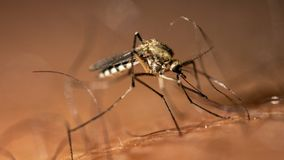 Mosquito drinks blood from a person macro. Mosquito drinks blood from a person close up royalty free stock images