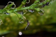 Mosquito e formiga que sentam-se em uma planta foto de stock royalty free