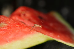 Mosquito eating watermelon Royalty Free Stock Photography