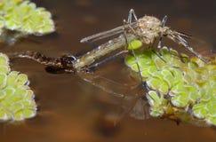 Mosquito emergente Fotografia de Stock