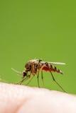 Mosquito en piel humana Foto de archivo libre de regalías