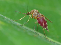 Mosquito Engorged with Blood Stock Photography