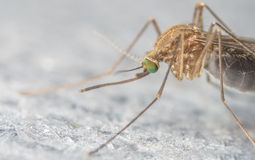 Mosquito extreme close-up or macro photo Stock Photos