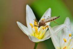 Mosquito feeding from a white wildflower. stock photos
