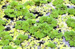 Mosquito fern and Common duckweed. Azolla caroliniana, Family Salviniaceae and Lemna minor, Family Araceae from central of Thailand royalty free stock photo