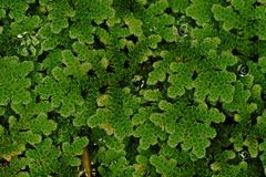Mosquito ferns;aquatic ferns. Nothing like typical ferns but more resembling duckweed or mosses royalty free stock photos