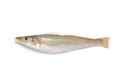 Mosquito Fish Stock Image