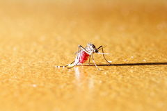 Mosquito on the floor Royalty Free Stock Images