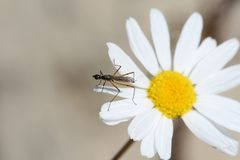 Mosquito on a flower Royalty Free Stock Image