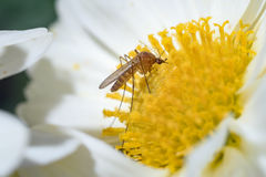 Mosquito on flower Royalty Free Stock Images