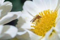 Mosquito on flower Stock Photos