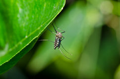 Mosquito in forest or in the garden Stock Photo