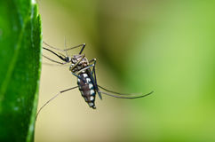 Mosquito in forest or in the garden is danger Royalty Free Stock Image