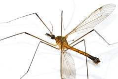 Mosquito gigante Imagen de archivo