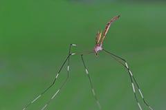 Mosquito gigante Imágenes de archivo libres de regalías