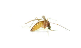 Mosquito grávido llenado de los huevos imagen de archivo