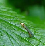 Mosquito grande (Culicidae) Imagens de Stock