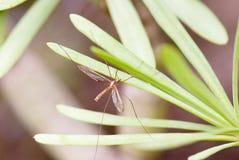 Mosquito grande de la tierra Fotos de archivo libres de regalías