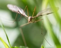 Mosquito in the grass outdoors. macro stock photography