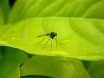 Mosquito on a green leaf Royalty Free Stock Image