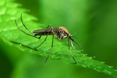 Mosquito on green leaf Royalty Free Stock Photos